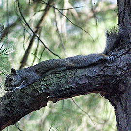 B Wayne Mullins -  Tree Squirrel