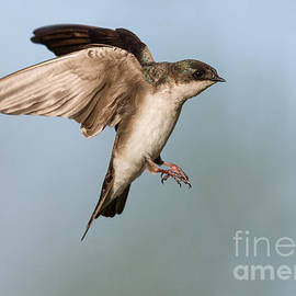 Jerry Fornarotto - Tree Swallow Approach