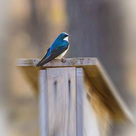 Robert Storost - Tree Swallow