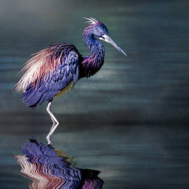 Brian Tarr - Tricolored Heron in breeding plumage