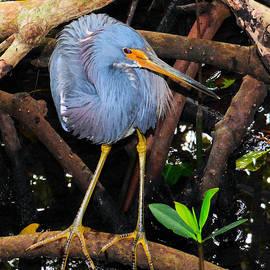 Rosalie Scanlon - Tricolored Heron in the Swamp