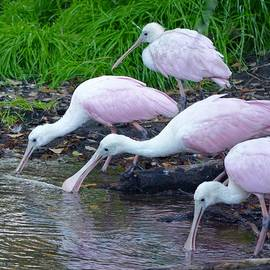 Richard Bryce and Family - Trio of Drinking Spoonbills
