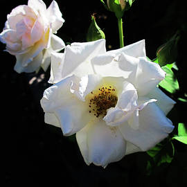 Ruth Jolly - Trio Of White Roses