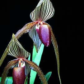 Shirley Sirois - Tropical Lady Slipper