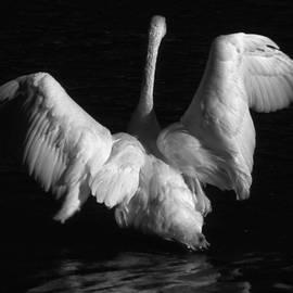 Edward R Wisell - Trumpeter Swan