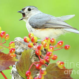 Max Allen - Tufted Titmouse Calling