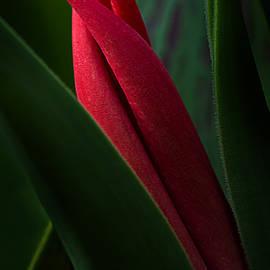 Mary Jo Allen - Tulip Bud Glow