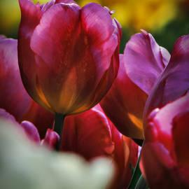 Lance Vaughn - Tulip Garden Macro 001