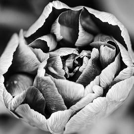 Vishwanath Bhat - Tulip in black and white