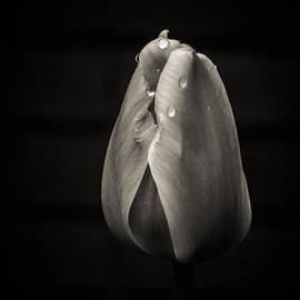 Ashley M Conger  - Tulip In Black