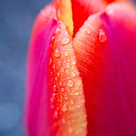 Edward Myers - Tulip with Morning Dew 2