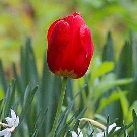 Joseph Marquis - Tulip_0168