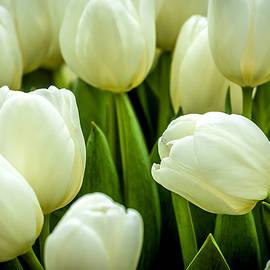 Jijo George - Tulips 4