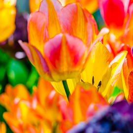 Alexander Senin - Tulips Enchanting 37