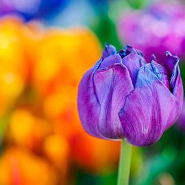 Alexander Senin - Tulips Enchanting 46