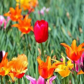 Cynthia Guinn - Tulips For Spring