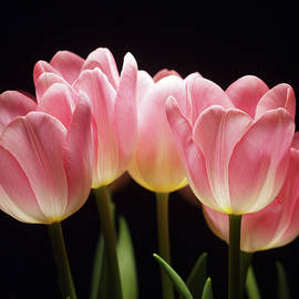 Laurie Stewart - Tulips for Tania