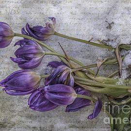 Terry Rowe - Tulips Frozen