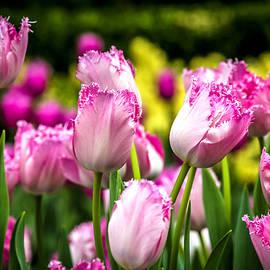 Jijo George - Tulips Garden