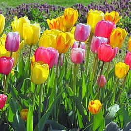 Tina M Wenger - Tulips Hedge 2015