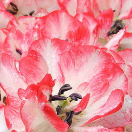 Photographic Art and Design by Dora Sofia Caputo - Tulips in Pink and White