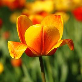 Rachel Cohen - Tulips in Yellow and Orange