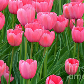 Regina Geoghan - Tulips Pretty in Pink