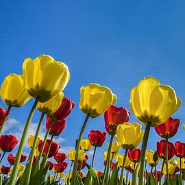 T Q - Tulips