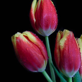 Tracy Hall - Tulips