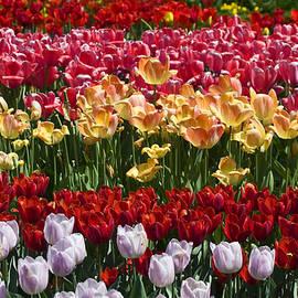 Sally Weigand - Tulips Tulips Tulips