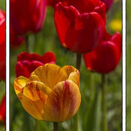 Veikko Suikkanen - Tulips