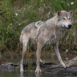 Teresa Wilson - Tundra Wolf on a Log