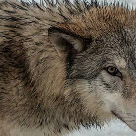 Teresa Wilson - Tundra Wolf