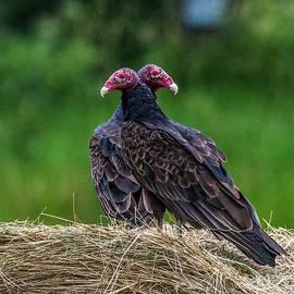 Paul Freidlund - Turkey Vultures