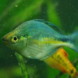 Aaron Rushin - Turquoise Rainbowfish 2