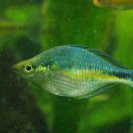 Aaron Rushin - Turquoise Rainbowfish