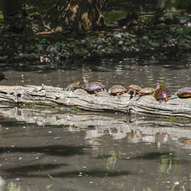 Bill Cannon - Turtles Sunning on a Log