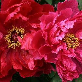 Bruce Bley - Twin Peonies
