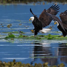 Gary Langley - Two American Bald Eagle touching down at low tide