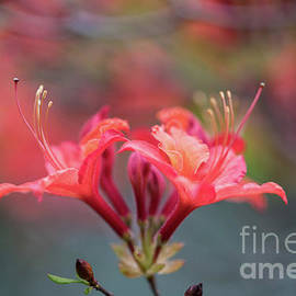 Two Beautiful Azalea Blooms - Mike Reid