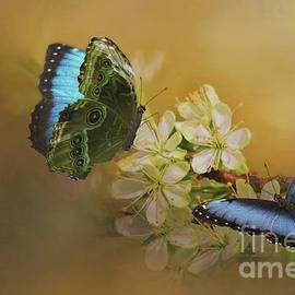 Janette Boyd - Two Blue Morpho Butterflies on White Spring Flowers