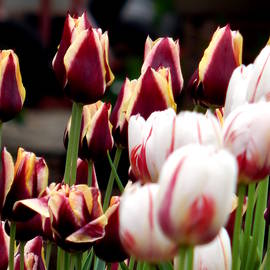 Wild Thing - Two Color Tulips