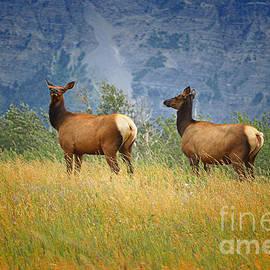 Vickie Emms - Two Cow Elk