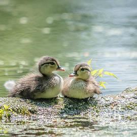 Cheryl Baxter - Two Cute Wood Ducklings
