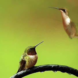 Darren Fisher - Two HummingBirds