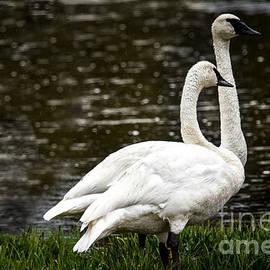 Robert Bales - Two Trumpter Swans
