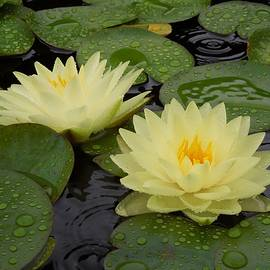 Chad and Stacey Hall - Two Water Lilies In The Rain
