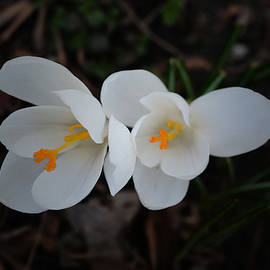 Richard Andrews - Two White Crocuses