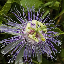 Kathy Clark - Purple Passion Wildflower