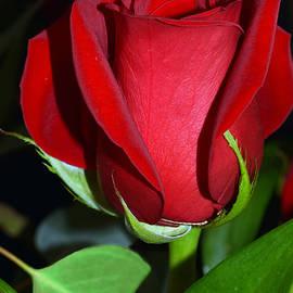 Michele  Avanti - Valentine Red Rose
